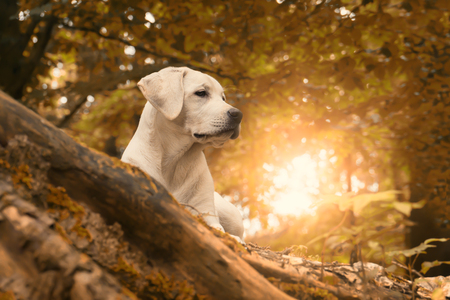 A labrador dog puppy in the forest at summer sunrise walk - close to autumn Stock Photo