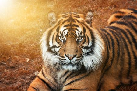 Portrait d'un tigre mâle au coucher du soleil avec des yeux intenses regardant droit dans la caméra