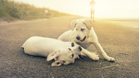 two cute labrador dog puppies play together while sunset on the shore of an island Stock Photo