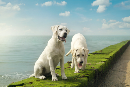 dog school: two cute young labrador dog puppies sitting in front of the sea on a wall Stock Photo