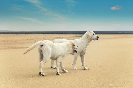 dogs play: two cute young dogs play at beach wandering around Stock Photo