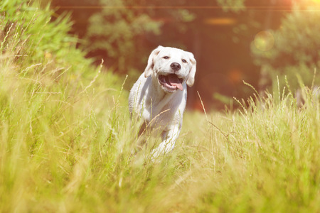 socialization: young labrador dog puppy running with funny face grimace