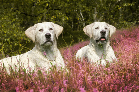 two cute little labrador dog puppies on a meadow with purple flowers Stock Photo