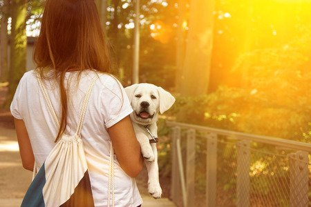 cute little labrador dog puppy is getting carried by a woman during sunset Stock Photo