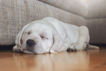 witty: Sweet young white small labrador dog puppy is dreaming while sleeping