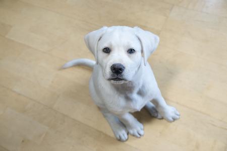 maul: cute young labrador retriever dog with big eyes looks pretty