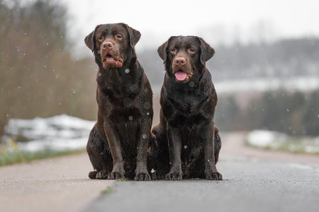 two cute young brown labrador retriever dogs puppies sitting on the concrete street smiling
