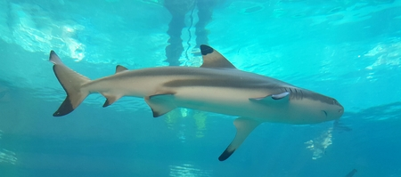 Shark in the blue sea water Stock Photo