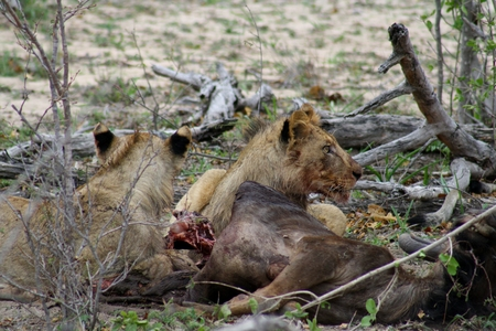 Lions eating Their prey after an night hunting in the Savanna,South Africa