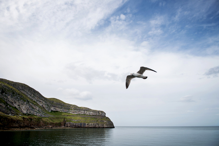 quin: Seagull Bird flying in Llandudno, England, UK
