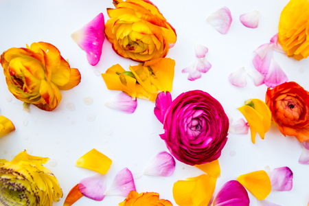 persian buttercup: Heads and Petals of colorful persian buttercup flowers ranunculus on White BAckground