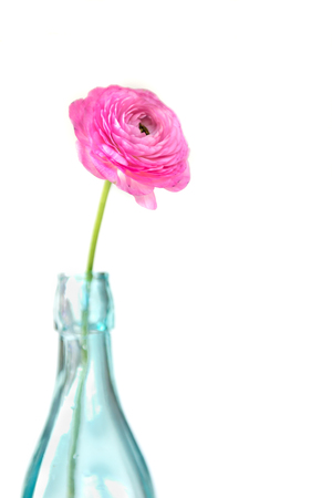 buttercup flower: Single colorful persian buttercup flower ranunculus in a Bottle on White Isolated Background