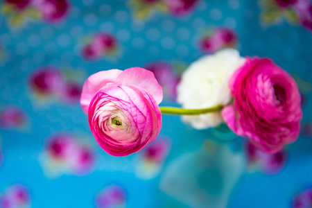 persian buttercup: Bouquet of colorful persian buttercup flowers ranunculus on Bright Blue Floral Background