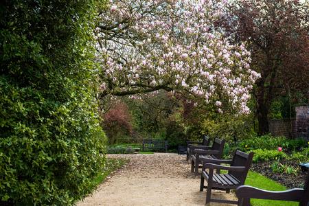 beautifull: Beautifull Light Pink Magnolia Tree with Blooming Flowers during Springtime in English Garden, UK Stock Photo