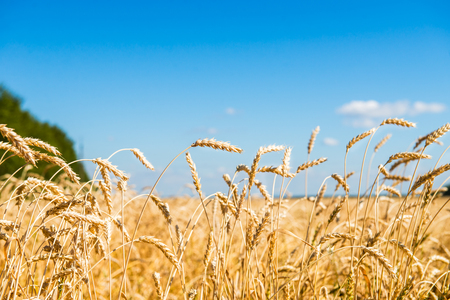 cloudscapes: Autumn Landscape of Golden Wheat Field with Blue Sky and White Clouds, selective focus, shallow DOF Stock Photo