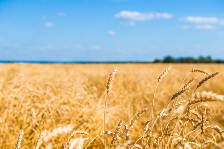 Autumn Landscape of Golden Wheat Field with Blue Sky and White Clouds, selective focus, shallow DOF Stock Photo