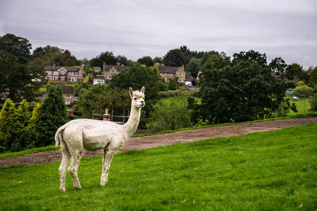 Lamas in a Rural Scene near Bakewell in Peak District National Park during Summer, Derbyshire, England, UK Stock Photo