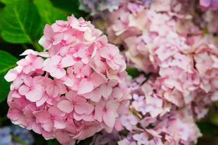 celebration: Pink and Blue Hydrangea Flowers in the Garden on Sunny Summer Day Stock Photo