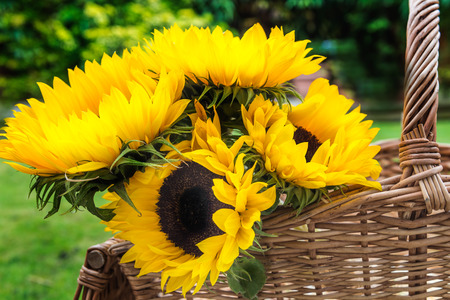 Yellow Sunflower Bouquet in the Basket in the Garden, Green Leaves as a Background