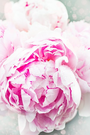 Close up of Fresh bunch of pink peonies on white background. Card Concept, spring flower, macro shot