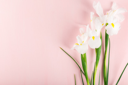 Beautiful White Iris Flowers on Pink Background, Top View, Copy Space