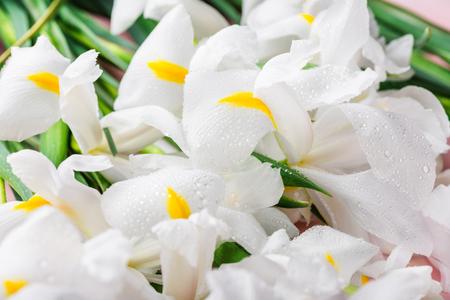 Close up of Beautiful White Iris Flowers on Pink Background, macro image  Stock Photo
