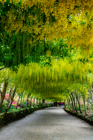 Beautiful Garden with blooming laburnum arch during spring time Stock Photo