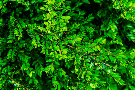 Close up of green bush in early spring time Stockfoto