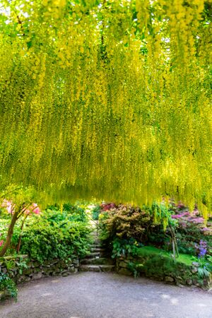 Beautiful Garden with blooming laburnum arch during spring time, Wales, UK