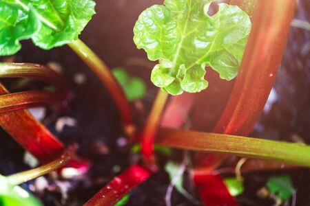 Fresh Rhubarb is growing in the garden during spring time Stockfoto