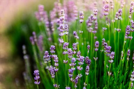 Field of organic lavender flowers , summer concept, farm which produces lavender oil Stock fotó - 127270735