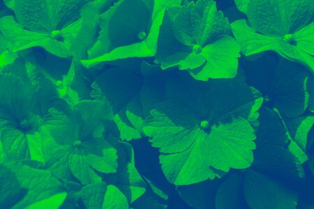 Hydrangea Flowers in the Garden on Sunny Summer Day, macro, duotone image