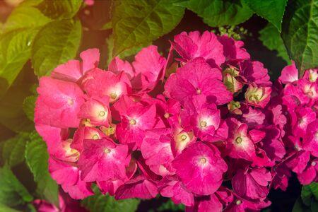 Hydrangea Flowers in the Garden on Sunny Summer Day Stock fotó - 127536959