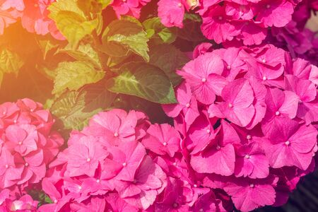 Hydrangea Flowers in the Garden on Sunny Summer Day Stock fotó - 127537036