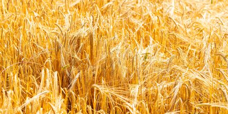 Autumn Landscape of Golden Wheat Field with Blue Sky and White Clouds, selective focus, shallow DOF Stockfoto