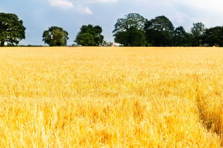 Autumn Landscape of Golden Wheat Field with Blue Sky and White Clouds, selective focus, shallow DOF Stock fotó - 127537449