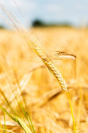 Autumn Landscape of Golden Wheat Field with Blue Sky and White Clouds, selective focus, shallow DOF Stock fotó - 127537529