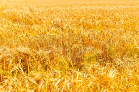 Autumn Landscape of Golden Wheat Field with Blue Sky and White Clouds, selective focus, shallow DOF Stock fotó - 127537537