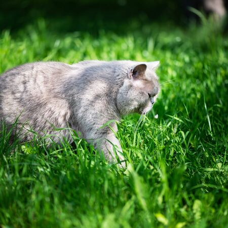 British Shorthair cat is walking outside in the garden and is enjoying warm weather