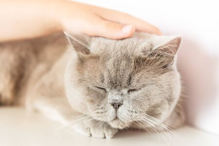 British Shorthair cat is lying and sleeping on white table.
