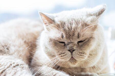 Beautiful British Shorthair cat is lying and sleeping on the window