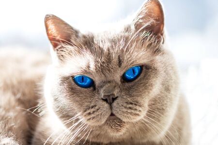 Beautiful British Shorthair cat with bright blue eyes is lying on the window under the summer sun Stock Photo