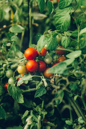 Close up of homegrown organic cherry tomatoes growing in a vegetable greenhouse garden Reklamní fotografie