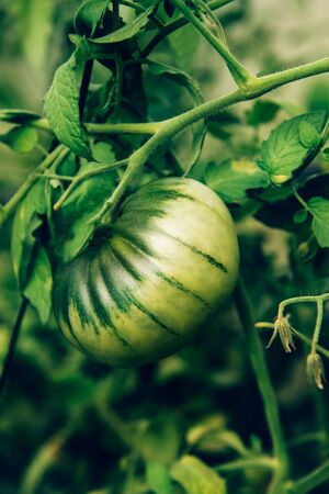 Close up of homegrown organic tomatoes growing in a vegetable greenhouse garden Reklamní fotografie