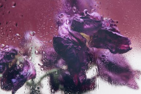 Dried purple tulips. Beautiful faded flowers through the glass with rain drops. Sad love concept. Copy space, dusty pink background