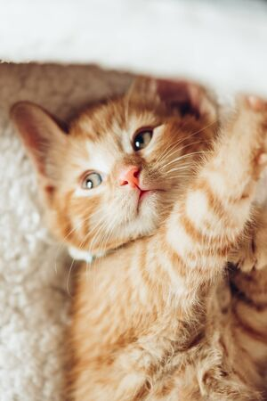 Cute little red kitten just woke up on white soft cat bedding, soft focus and shallow DOF