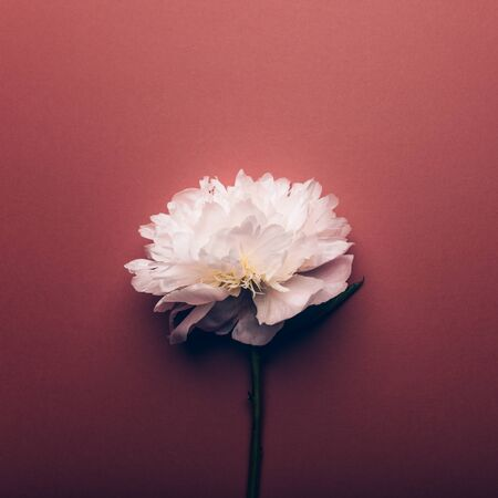 Amazingly beautiful white Peony on dusty rose background. Card Concept, copy space for text Фото со стока