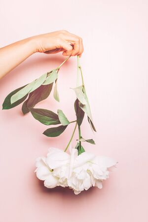 Hand is holding Amazingly beautiful white Peony upside down on light pink background. Card Concept