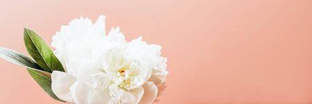 Fresh bunch of white peonies on dusty pink background. Card Concept, copy space for text, banner Фото со стока