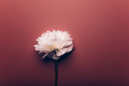 Amazingly beautiful white Peony on dusty rose background. Card Concept, copy space for text